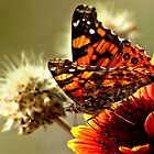 Painted Lady On Firewheel by Arla M. Ruggles