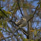 Northern Mockingbird  by NewfieKeith