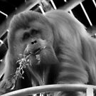 HSING HSING Orangutan # 2 by Eve Parry