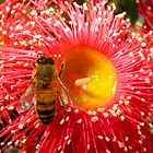 Bee visiting an Eucalypt flower by DPalmer