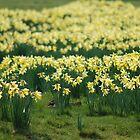 Daffodils/Cennin Pedr by blodauhyfryd
