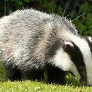 Badger Cub by Emily Clarke