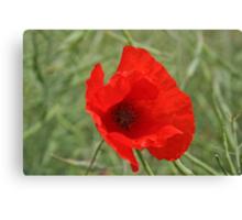 Single Red Poppy Canvas Print