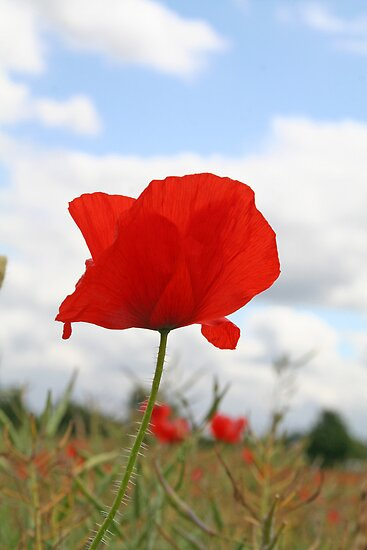 Single Poppy against blue sky by NKSharp