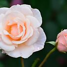 Mother 'N Daughter Roses... by Carol Clifford