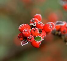 Frozen Berries. by sandyprints