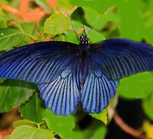 Great Mormon (Papilio memnon) Butterfly by vette