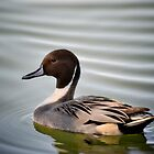 Northern Pintail Duck  by Saija  Lehtonen