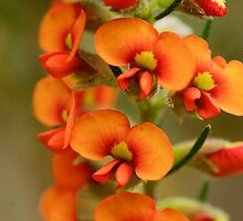 Showy Parrot-Pea   (Dillwynia sericea) by Cheryl Ribeiro