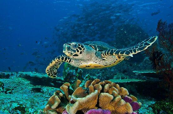 Hawkesbill Turtle by MattTworkowski