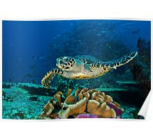 Hawkesbill Turtle Poster