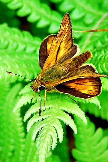 Skipper butterfly  by PAPILON