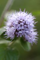 Water Mint by marens