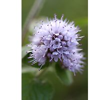 Water Mint Photographic Print