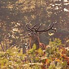 Wollaton Park rutting  by Elaine123