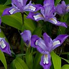 i Dwarf Crested Iris by Gary L   Suddath
