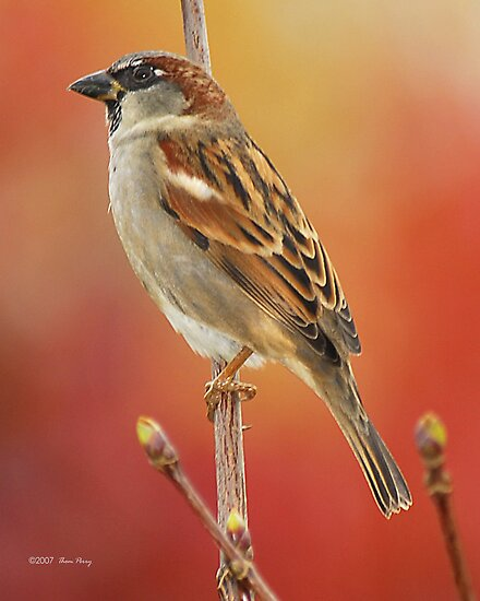 Sparrow by Thom  Perry
