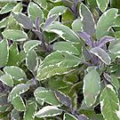 "Foliage of Sage (Salvia Officinalis) ""Tricolor"" for iPhone by Philip Mitchell"