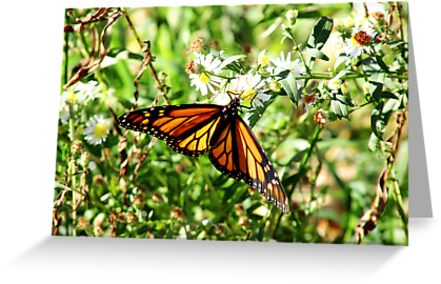 Monarch Butterfly  by Marcia Rubin