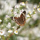 Autumn Wings - Common Buckeye 3 by WalnutHill