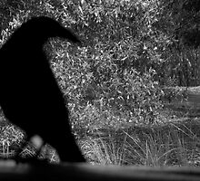 Currawong  by Jocelyn  Parry-Jones