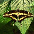 Papilio cresphontes (Giant Swallowtail) by PAPILON