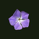 Single flower of the greater periwinkle for iPhone by Philip Mitchell
