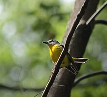 Eastern Yellow Robin by Tim Harper