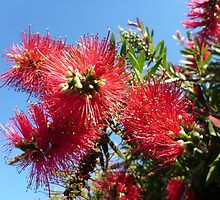 Bottlebrush by machka