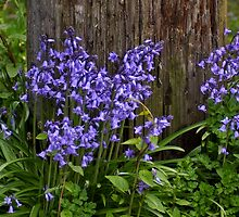 basic bluebells by dedmanshootn