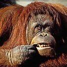 Orangutan by Garry Gay