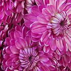 Hot Pink Mums by Cassandra Scarborough