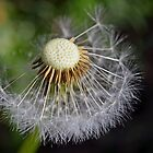 Just Dandy... by gmws