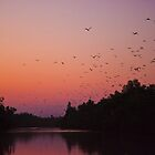 Flying foxes on the Palmer River, Cape York, Australia by Carmel Williams