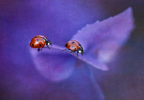 Ladybirds on hydrangea by Ellen van Deelen
