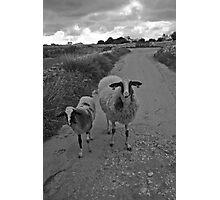Babysitter Sheep Photographic Print