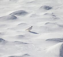 White ptarmigan by zumi