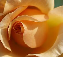 Welsh Rose by kalaryder