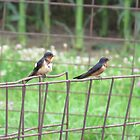 Birds on Fence by Donald Salsbury