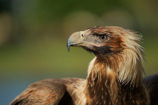Eagle Eye by Margaret Hamwood