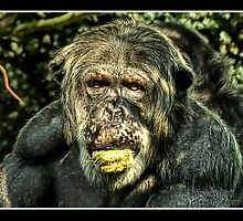 Chimp at Chester Zoo - 2011 by MaverickDesign