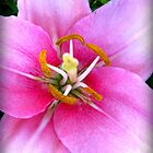 Light Pink Lily by Mercedes Auman