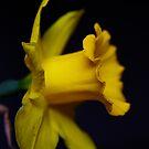 Daffodil by Erika  Hastings