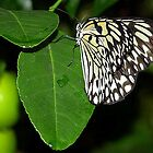 Tree Nymph Butterfly by vette
