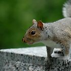 A Canadian squirrel by GRoyer