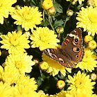 Bright Autumn - Common Buckeye 4 by WalnutHill
