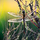 Dragonfly Sunrise 2 by Charlie