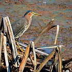 Green Heron 2 by Charlie