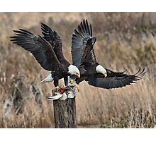Bald Eagles with Prey Photographic Print