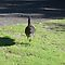Bush Turkey - Myall Lakes by KazM